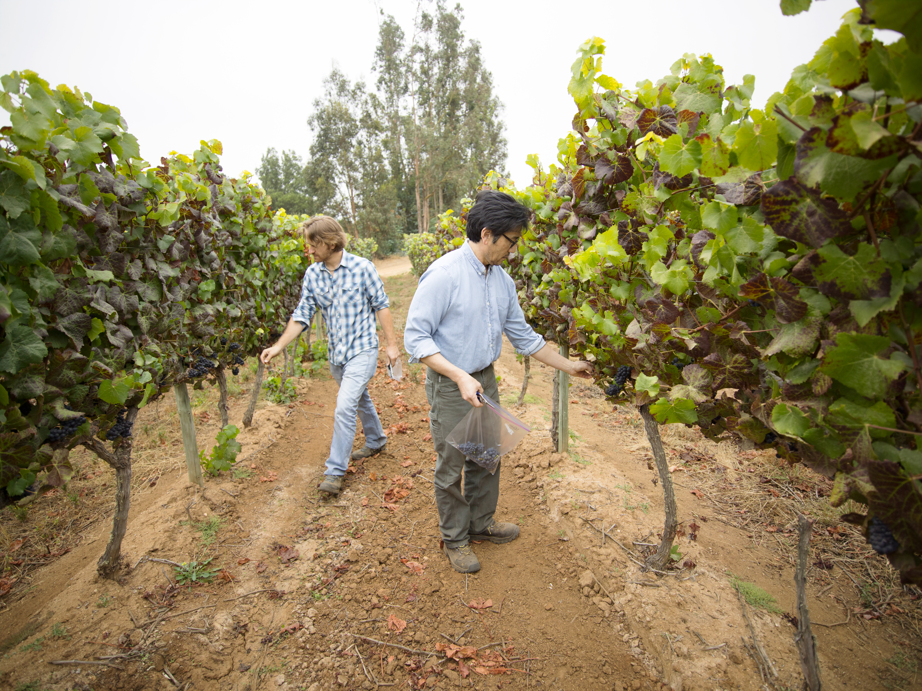 Amael and Byron walk the vineyard, taste grapes, and decide what day to harvest that week.