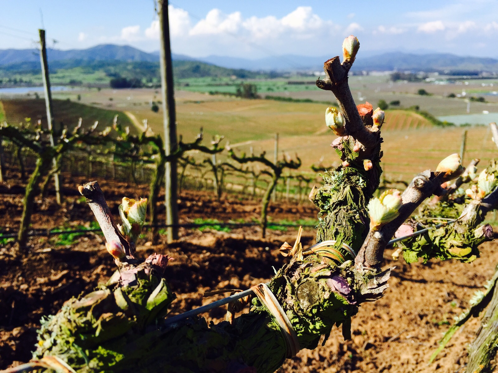 Hope springs, bud break reaches the vineyards