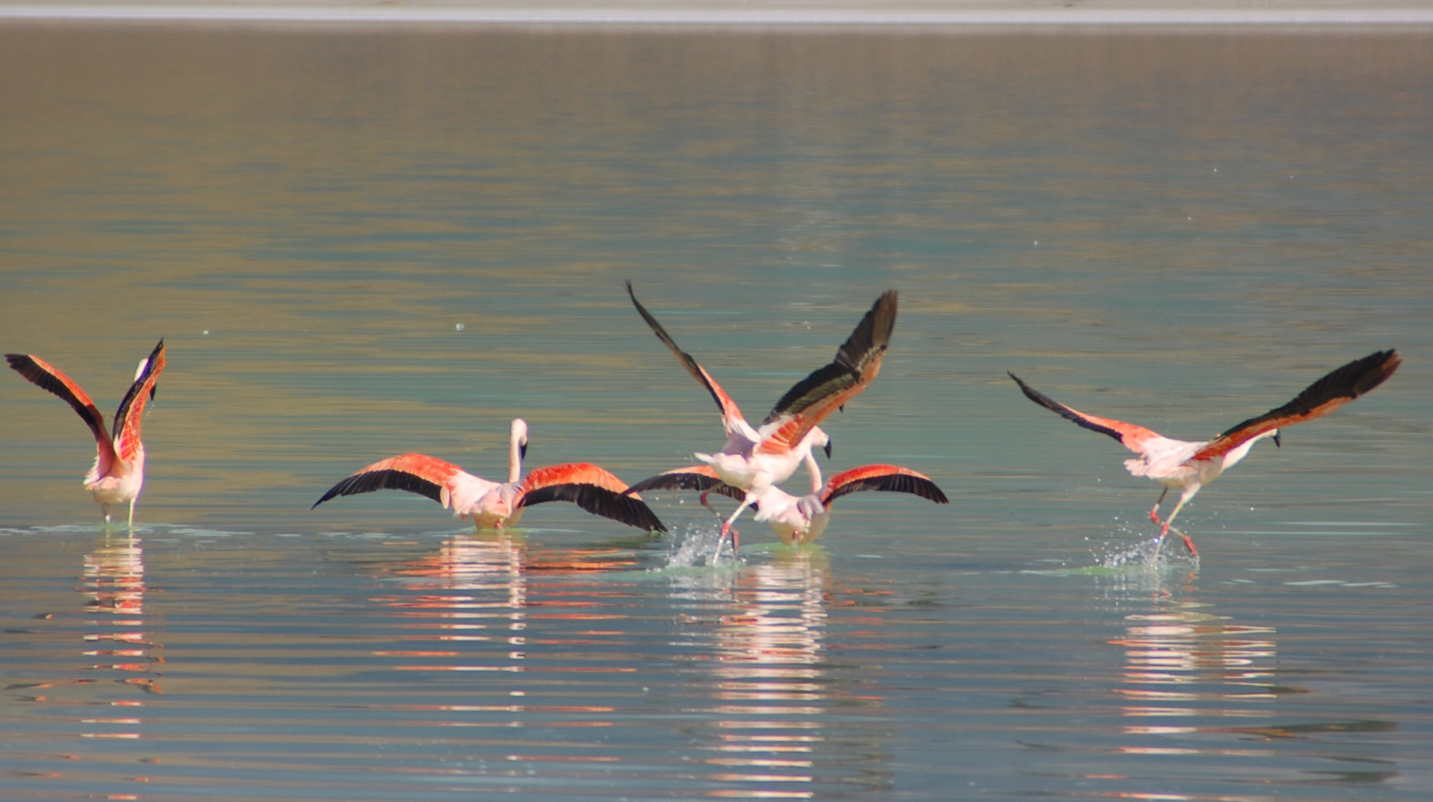 Pink flamingos take a dip in a lake. <em>Photo credit: Luis
