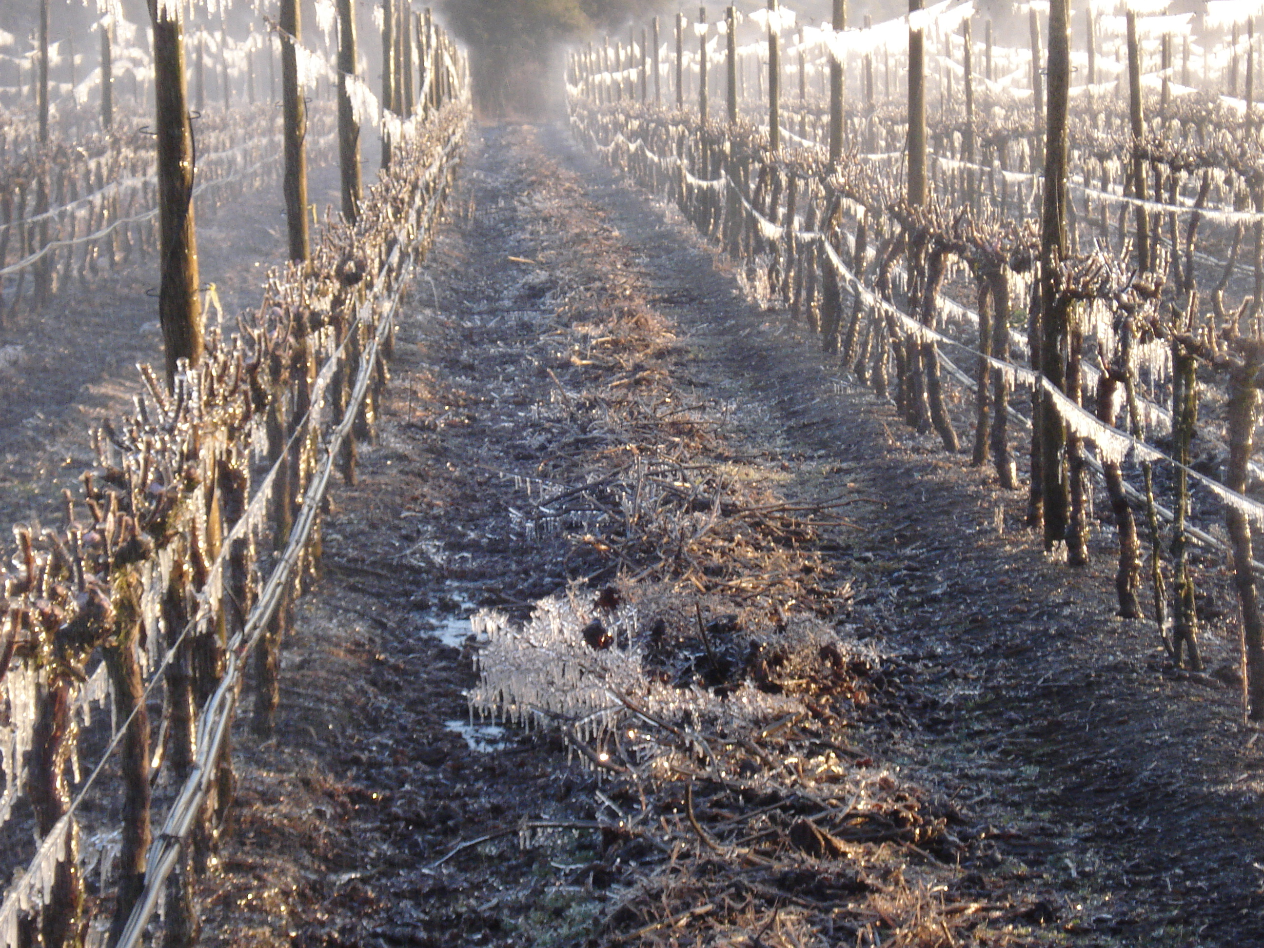 Frost in the vineyards