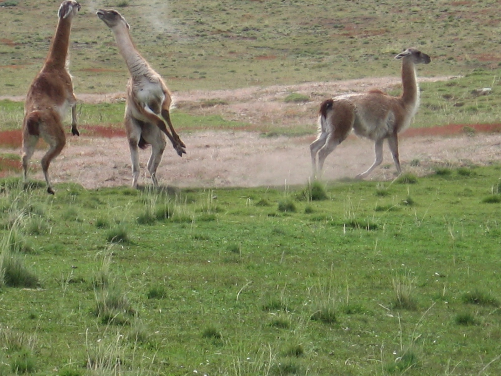 Two male guanacos spar over a desirable female. She seems unimpressed. <em>Photo credit: Luis