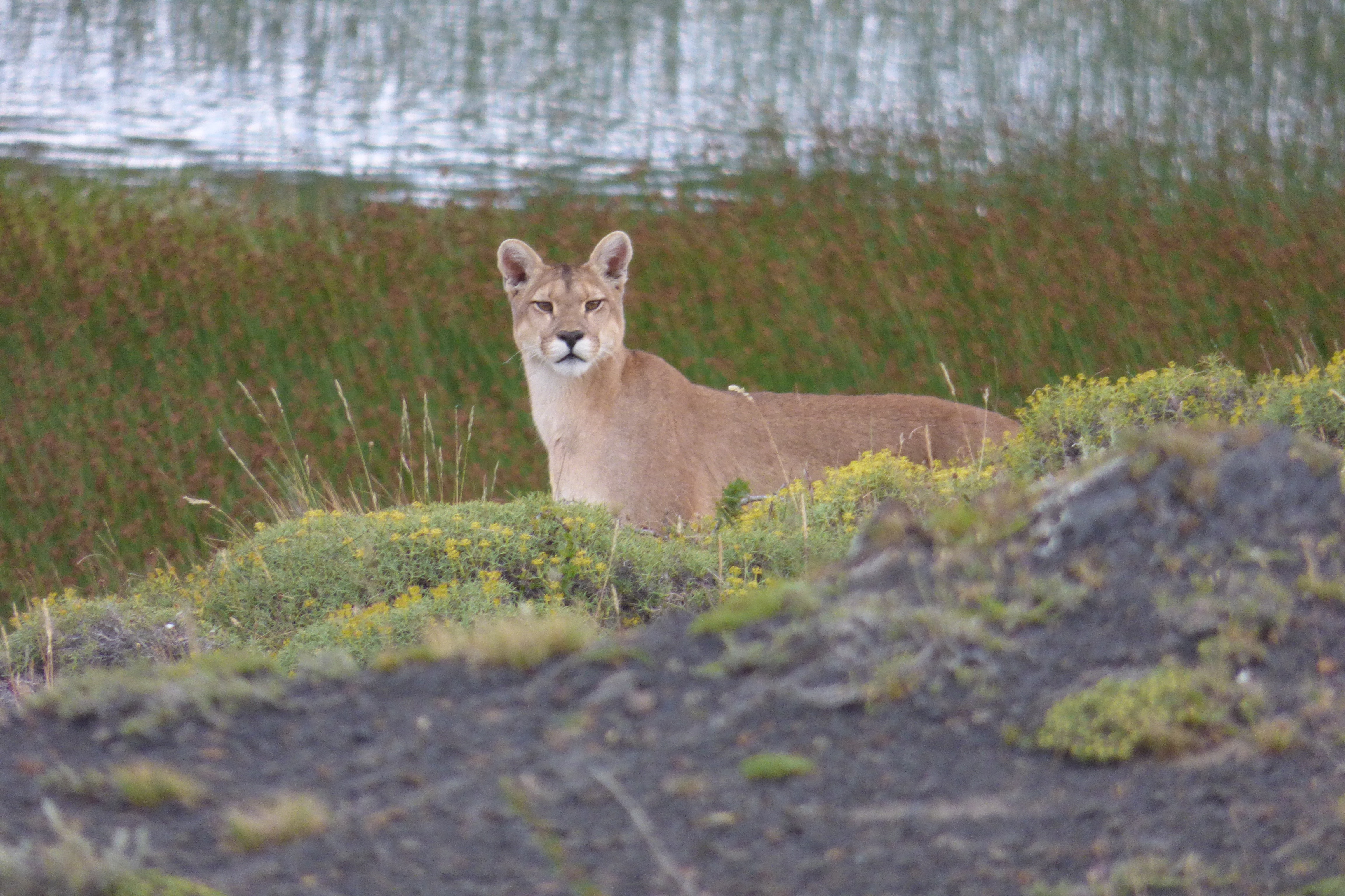 Pumas are not unusual in Patagonia, one of many reasons we recommend hiking with a guide. <em>Photo credit: Luis