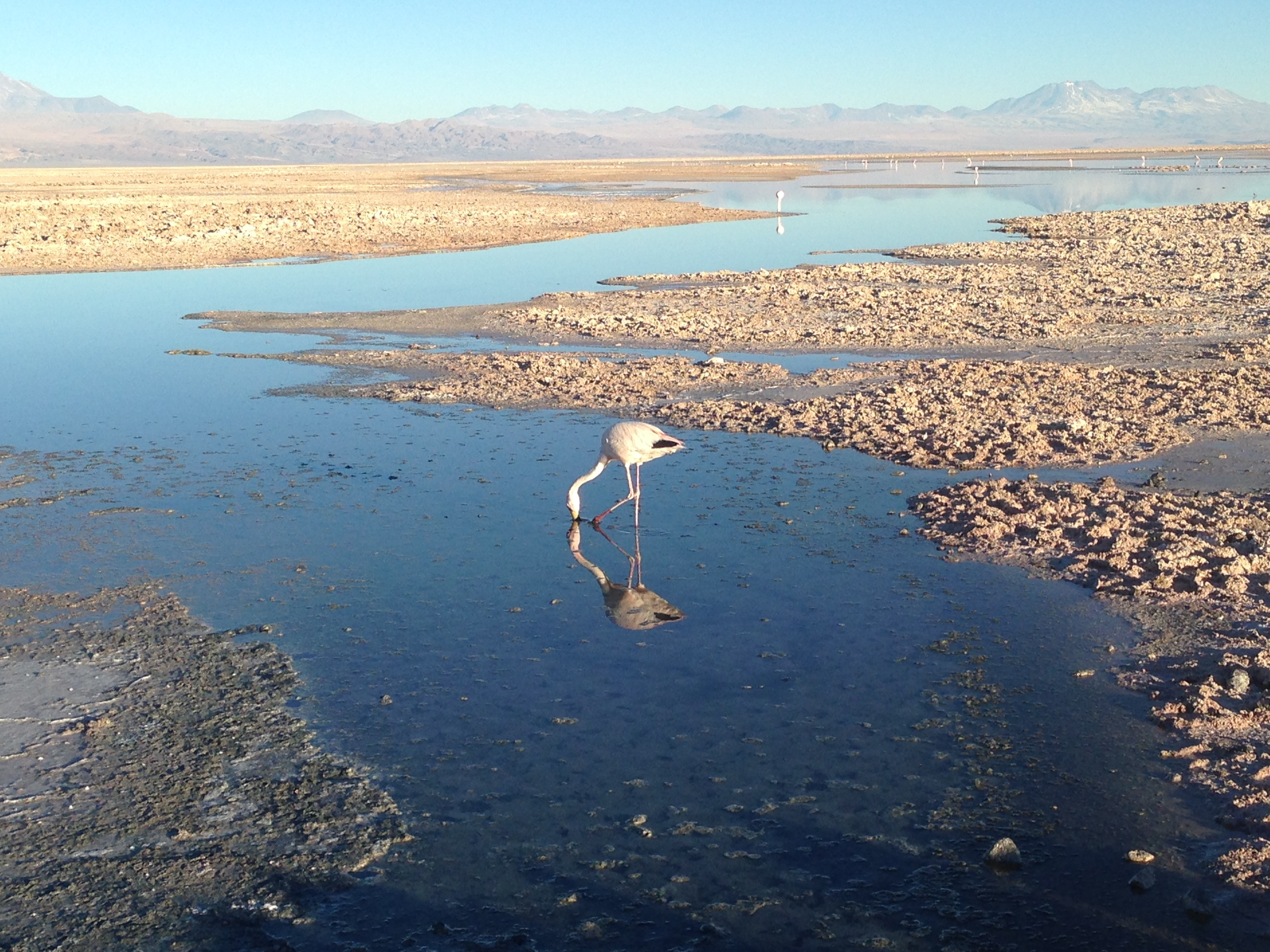 A flamingo surrounded by chunky blocks of salt in <em>Laguna Chaxa</em>.