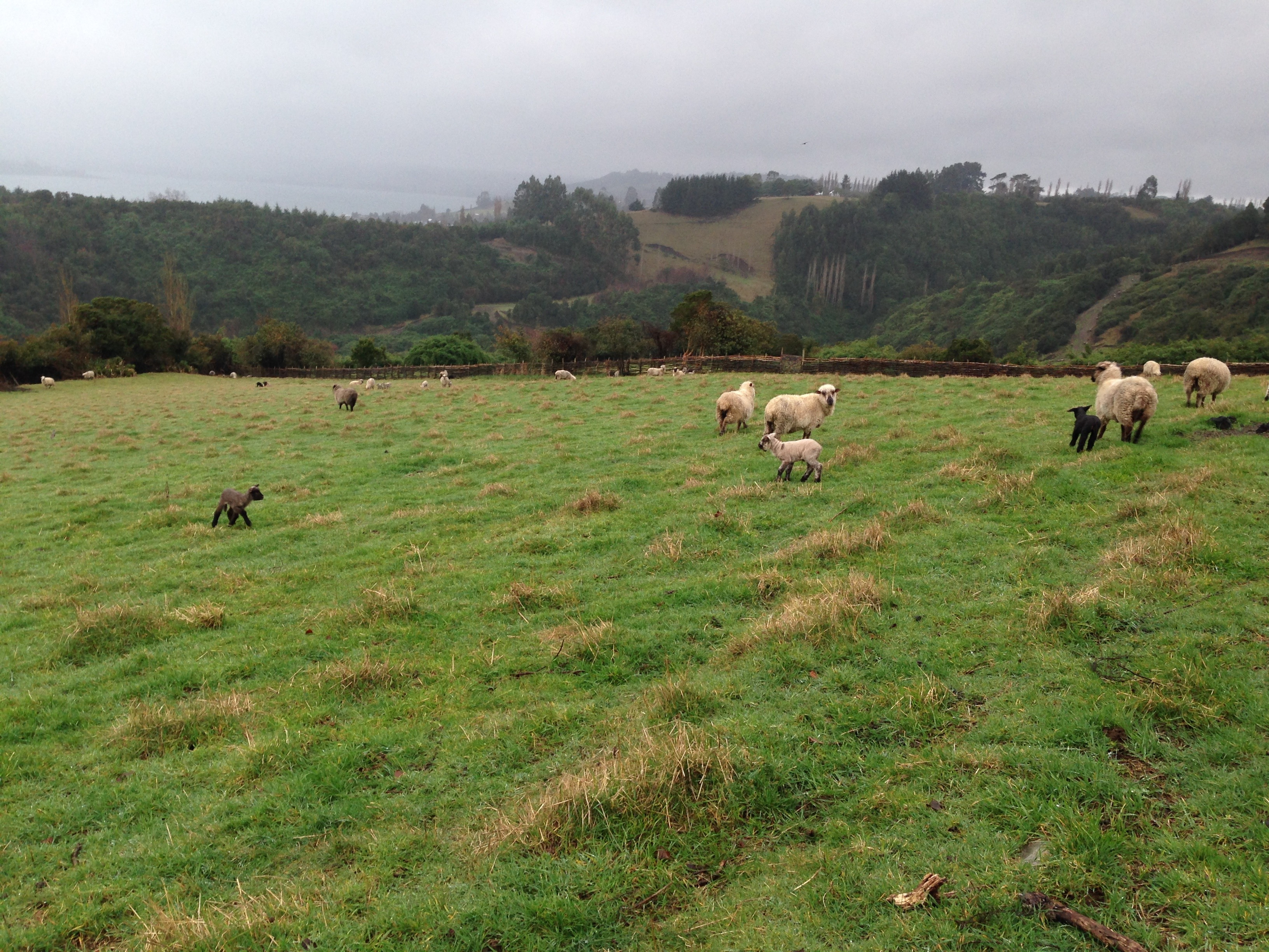 Sheep graze on a hillside in Chiloé.