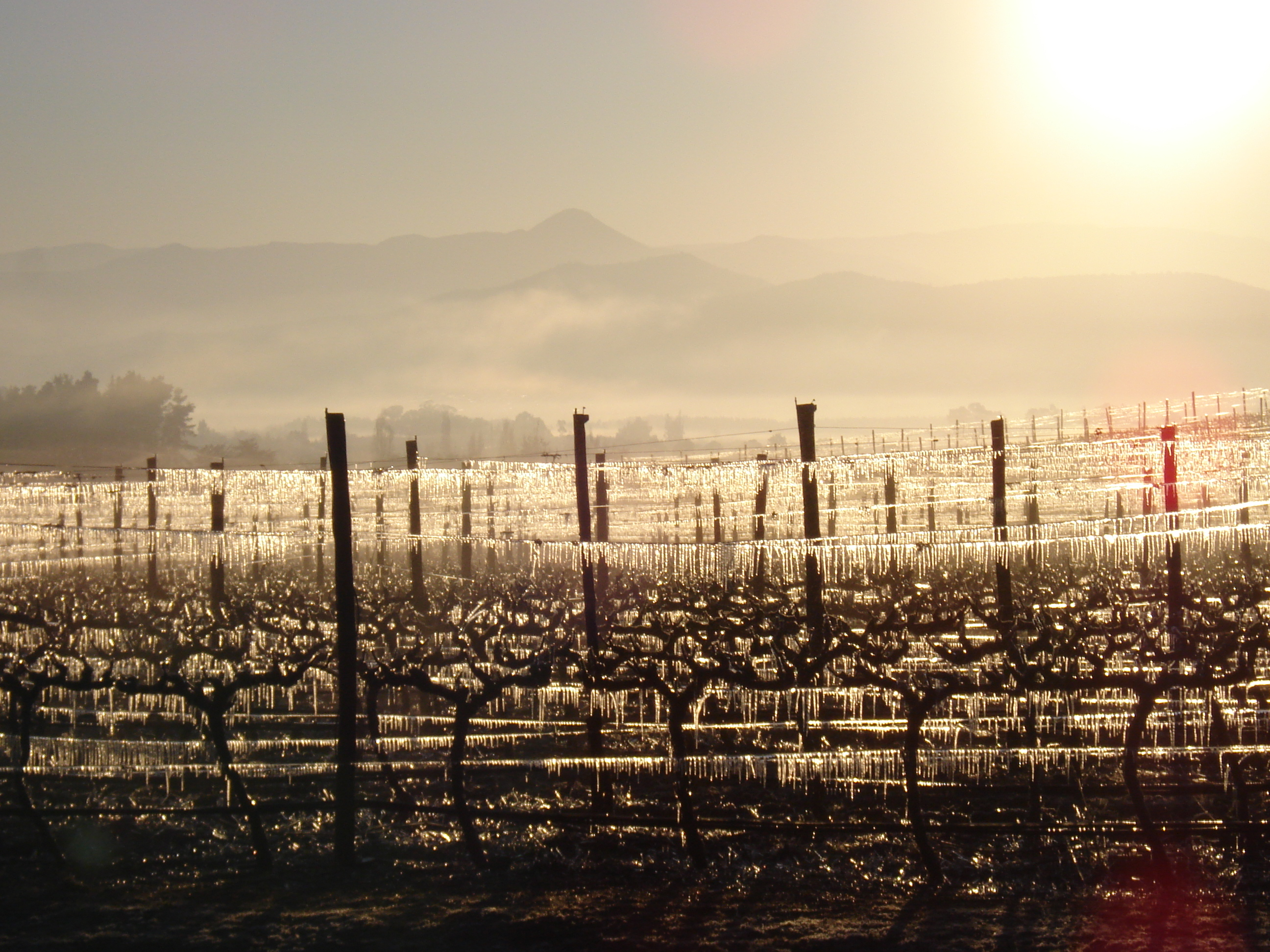 The sun warms the frozen vines.